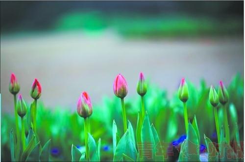 太子湾的郁金香已长出花苞 这个双休日大概10%将开放 宗圣凯 摄  ,