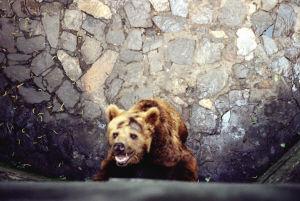 网友推测杭州动物园的棕熊得了抑郁症