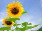杭州:向日葵怒放八卦田