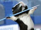 卖萌豚鼠奥运会日历