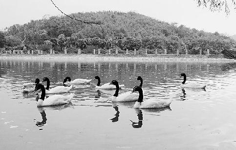 黑颈天鹅入住杭州野生动物世界天鹅湖