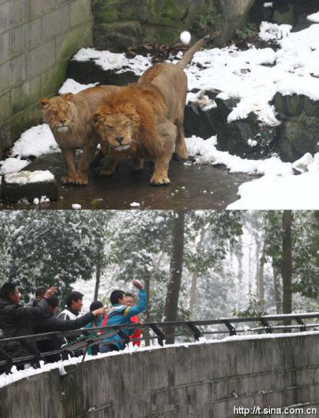 杭州动物园游客持雪球砸狮子引热议