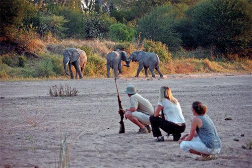 大象要攻击徒步探险者时,可以鸣枪震慑大象
