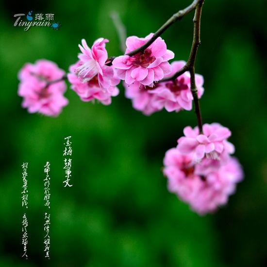 孤山梅花 摄影:落雨
