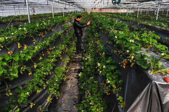 立体草莓种植是建德市农业部门主推的新技术,既能方便游客采摘,更能提高草莓单位面积产量。