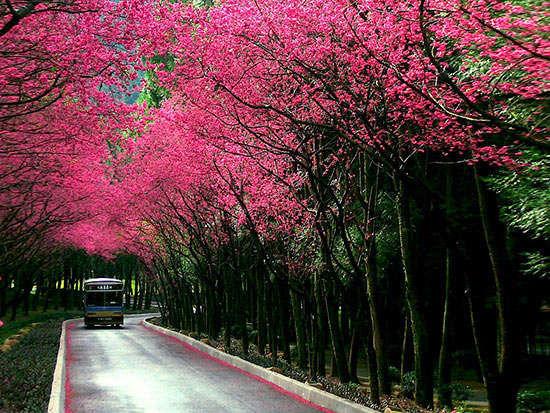 坐小火车赏樱花