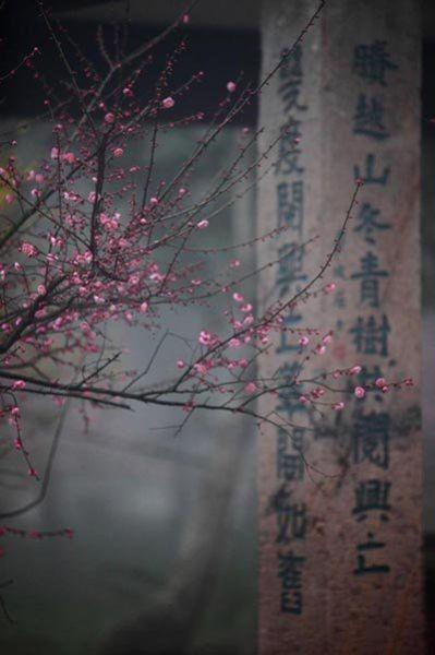 杭州灵峰探梅(点击更多高清美图)