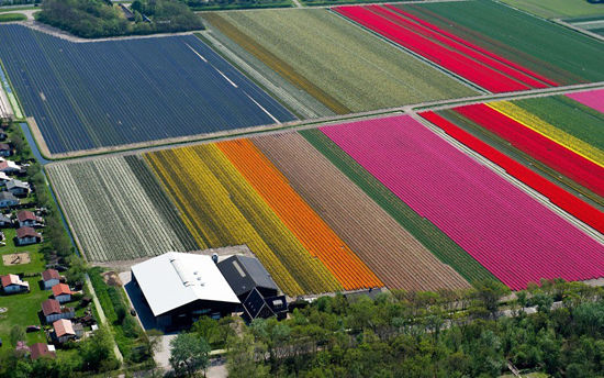 安娜保洛娜带状分布的郁金香花圃(点击更多高清美图)