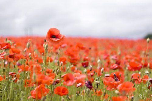 英国伍斯特郡的罂粟花田(点击更多高清美图)
