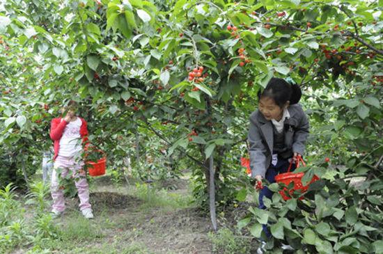 良渚野芦湾生态休闲农业园采摘樱桃(点击更多高清美图)