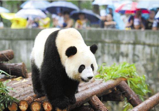 """杭州动物园为大熊猫""""蜀云""""举办欢送会"""