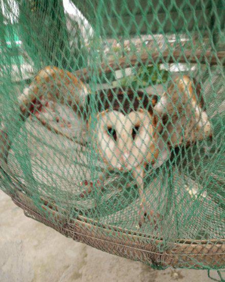 杭州1男子张网猎捕8只濒危猫头鹰