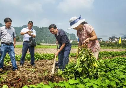 省市农业专家田头指导农民科学种植小香薯