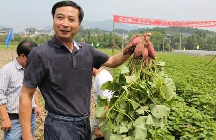 浙江省农业厅种植业管理局局长成灿土对九里村种植户种出的小香薯品质这么好,感到很满意、很高兴。