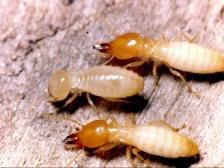 杭州现罕见白蚁