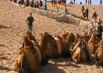 敦煌骆驼过劳死