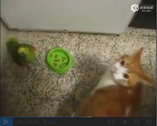 视频:超贱鹦鹉阻止喵星人进餐被拍巴掌