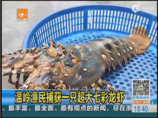 视频:实拍浙江渔民捕获68厘米七彩龙虾 重3.6KG